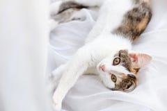 Gatito lindo que miente en alféizar en una Tulle blanca brillante Imagen de archivo
