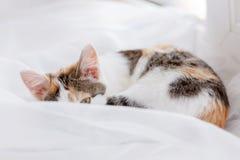 Gatito lindo que miente en alféizar en una Tulle blanca brillante, encrespada para arriba Imagen de archivo libre de regalías