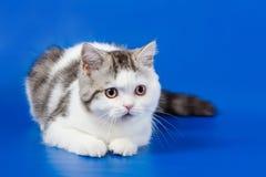 Gatito lindo que miente en fondo azul fotografía de archivo