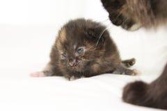 Gatito marrón viejo de dos semanas Fotos de archivo