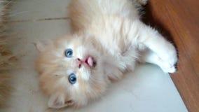 gatito marrón y blanco almacen de video
