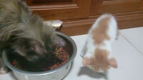 Gatito 2 meses entrenados para comer la comida para gatos almacen de metraje de vídeo
