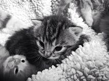 Gatito minúsculo Foto de archivo libre de regalías