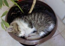 Gatito minúsculo que duerme en la maceta foto de archivo libre de regalías