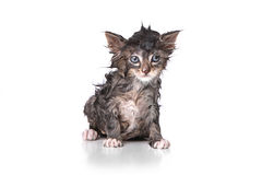 Gatito mojado del goteo en blanco Fotos de archivo
