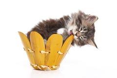 Gatito mullido que se sienta en una caja y mordiscos él imagenes de archivo