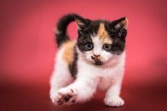 Gatito multicolor juguetón, negro, blanco y rojo foto de archivo