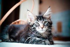 Gatito negro del mapache de Maine del color del gato atigrado Imagen de archivo