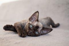 Gatito negro del rex de Devon Imágenes de archivo libres de regalías