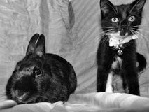 Gatito negro del smoking del anuncio del conejito Foto de archivo