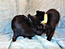 Gatito negro del smoking del anuncio del conejito Imagen de archivo libre de regalías
