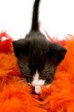 Gatito negro viejo curioso de dos semanas Fotografía de archivo libre de regalías