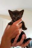 Gatito negro viejo de las semanas minúsculas en manos Imagen de archivo libre de regalías
