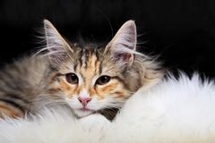 Gatito noruego de la hembra del gato del bosque Foto de archivo libre de regalías