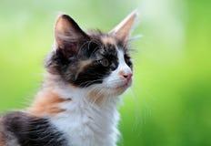 Gatito noruego del gato del bosque con el fondo verde Fotos de archivo