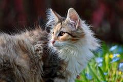 Gatito noruego del gato del bosque en jardín soleado Fotografía de archivo libre de regalías