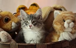 Gatito noruego del varón del gato del bosque Foto de archivo