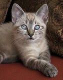 Gatito observado azul Imagen de archivo