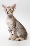 Gatito oriental del jengibre del gato atigrado dulce del chocolat meowing fotografía de archivo libre de regalías