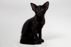 Gatito oriental negro divertido imágenes de archivo libres de regalías