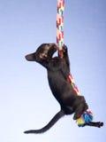 Gatito oriental siamés que cuelga de cuerda Foto de archivo libre de regalías