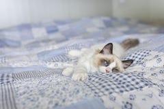 Gatito perezoso de Ragdoll en el edredón de remiendo foto de archivo libre de regalías