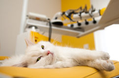 Gatito persa blanco que miente en silla dental Imagenes de archivo