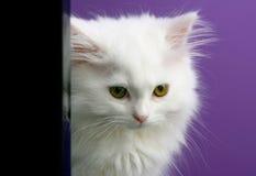 Gatito persa blanco que oculta detrás foto de archivo