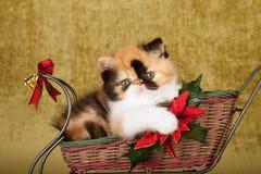 Gatito persa del calicó rojo que se sienta dentro de trineo de la Navidad en fondo del oro verde Imagenes de archivo