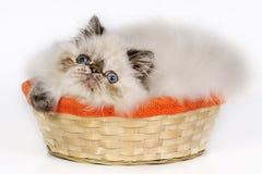 Gatito persa en una cesta. Fotografía de archivo libre de regalías