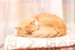 Gatito persa hermoso que duerme en la manta de lana Fotografía de archivo