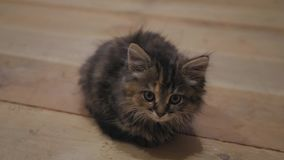 Gatito persa lindo en casa Gatito gris curioso Pequeño animal doméstico almacen de video