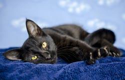 Gatito polidáctilo negro del gato Fotos de archivo