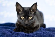 Gatito polidáctilo negro del gato Imágenes de archivo libres de regalías