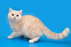 Gatito poner crema con una cola larga en un fondo azul Foto de archivo