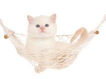 Gatito poner crema de Ragdoll de la punta en hamaca Imagen de archivo libre de regalías