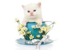 Gatito poner crema de Ragdoll de la punta en taza azul grande Imagen de archivo libre de regalías