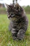 Gatito que camina Foto de archivo libre de regalías