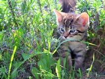 Gatito que camina a través de la hierba