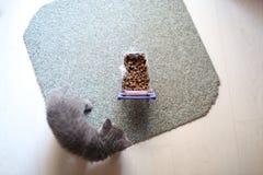Gatito que come de un carro de la compra con el alimento para animales Imágenes de archivo libres de regalías