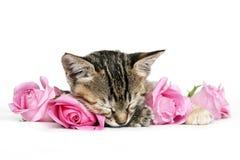 Gatito que duerme entre rosas rosadas Fotos de archivo