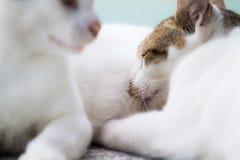 Gatito que introduce del gato de la madre Imagen de archivo libre de regalías