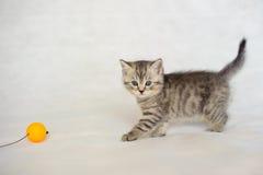 Gatito que juega, color berrendo de la capa Foto de archivo libre de regalías