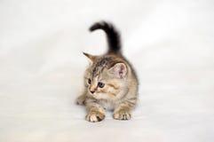 Gatito que juega, color berrendo de la capa del gatito Imagen de archivo libre de regalías