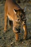 Gatito que lleva del león de montaña Fotografía de archivo