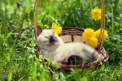 Gatito que miente en una cesta Fotografía de archivo