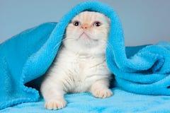 Gatito que mira a escondidas hacia fuera de debajo la manta azul Fotos de archivo