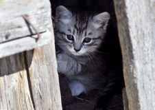 Gatito que mira a escondidas hacia fuera de detrás la puerta Fotografía de archivo