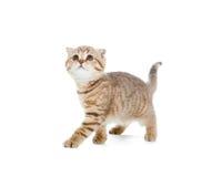 Gatito que recorre o estudio aislado rayado gato Foto de archivo libre de regalías