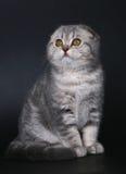 Gatito que se sienta del doblez del escocés de la casta. foto de archivo libre de regalías